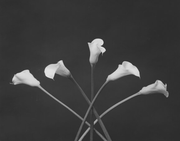 1983, Robert Mapplethorpe Calla Lilies, 1983